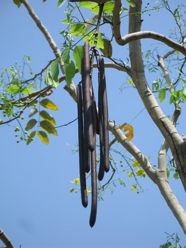 花美果奇腊肠树