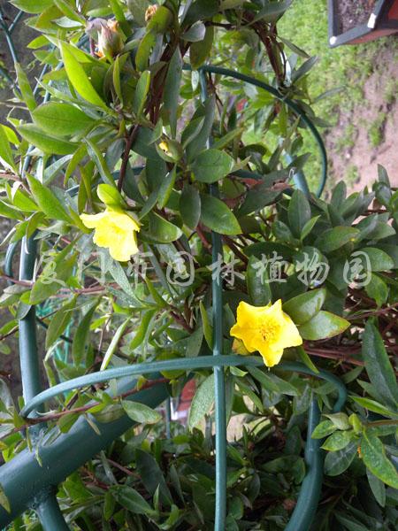 蛇藤- 植物欣赏 - 厦门市园林植物园|万石植物园